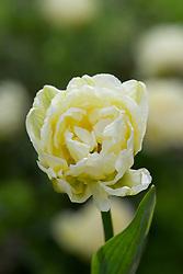 Tulipa 'Cheryl'