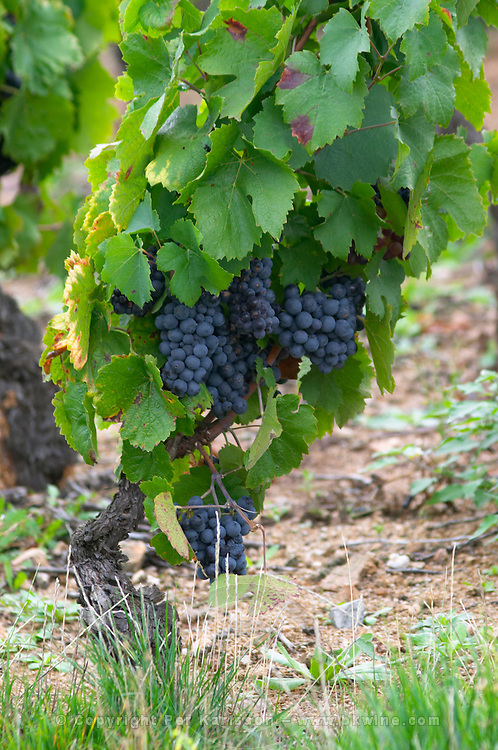 Goblet pruned vines in the vineyard. Gamay. Domaine Tracot Dubost, Beaujolais, France