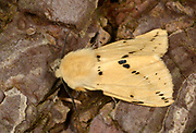 Close-up of a Buff ermine moth (Spilosoma luteum) resting on a tree in a Norfolk garden in summer