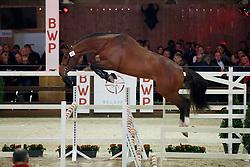 097, Cobalino<br /> Hengstenkeuring BWP - Lier 2018<br /> © Hippo Foto - Dirk Caremans<br /> 19/01/2018096, Fides Du Mas Garnier<br /> Hengstenkeuring BWP - Lier 2018<br /> © Hippo Foto - Dirk Caremans<br /> 19/01/2018