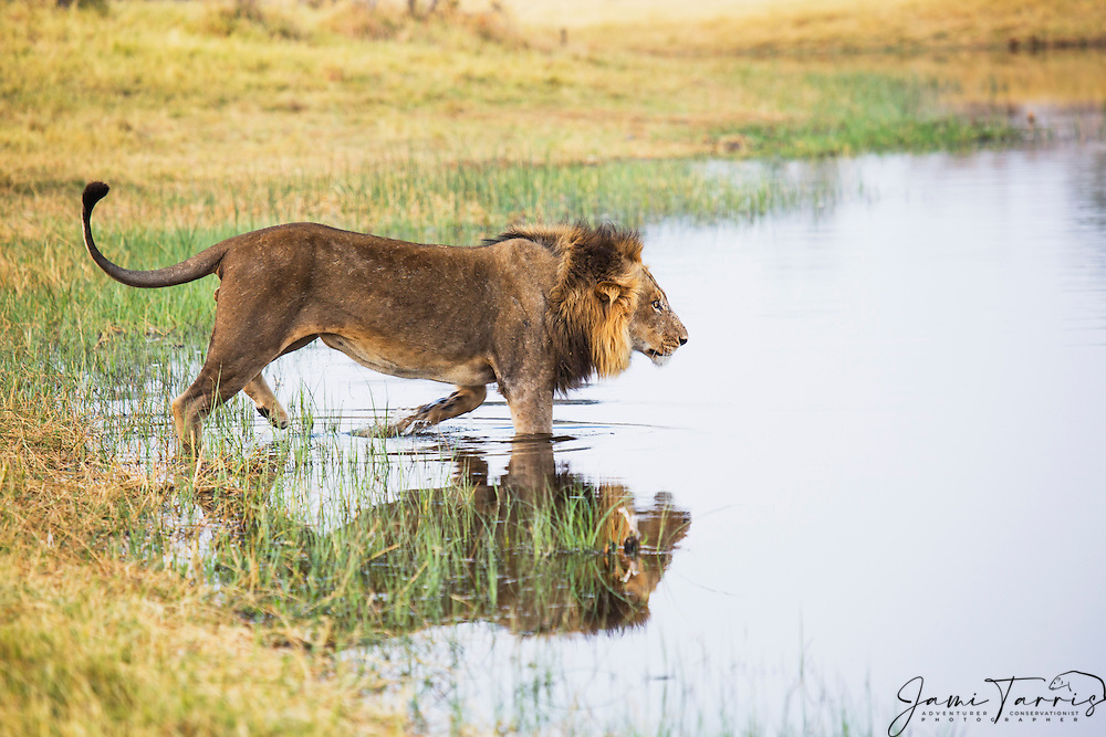 A dominant male African lion (Leo Panthera) walking into a river to cross, Chobe National Park, Botswana, Africa