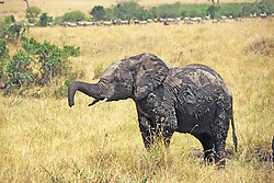 Young Elephant After Wallowing In The Mud