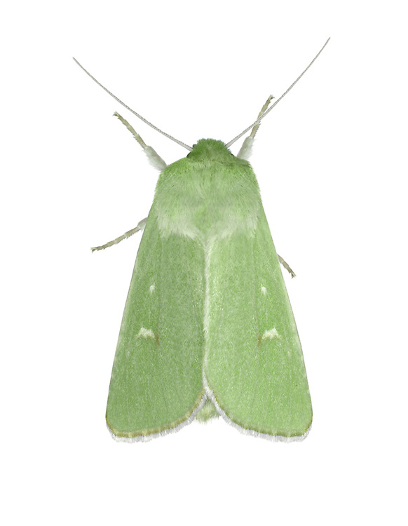 73.116 (2366)<br /> Burren Green - Calamia tridens