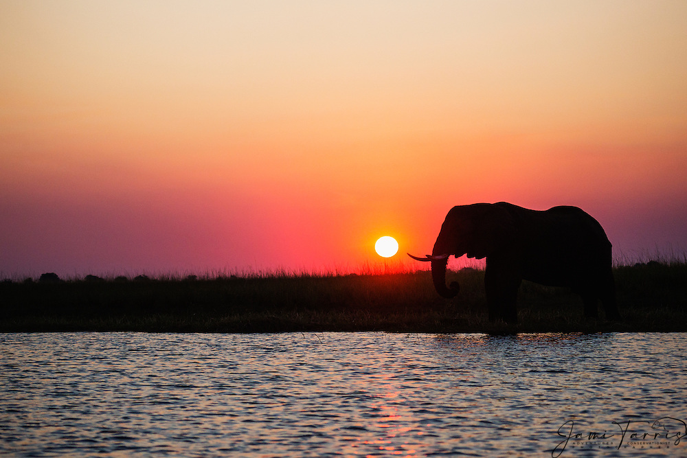 A silhouette of an African elephant (Loxodonta africana) against a red African sky at sunset, Chobe National Park , Botswana, Africa