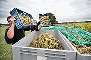 Nederland, Groesbeek, 12-10-2020  Bij wijnhoeve de Colonjes zijn vrijwilligers bezig met de oogst van de laatste biologisch geteelde druiven van dit seizoen .Met 13 ha. een van de grootste van het land, gaat kwaliteit hier boven kwantiteit. De druiven zijn van goede kwaliteit . Het dorp Groesbeek afficheert zichzelf als het wijndorp van Nederland omdat er de jaarlijkse wijnfeesten zijn en verschillende boeren druiven verbouwen. Door de coronacrisis is het moeilijker de wijn te verkopen .Foto: ANP/ Hollandse Hoogte/ Flip Franssen