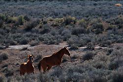 Two Oregon mustangs roaming the Central Oregon desert
