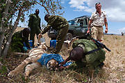 KWS veterinary -  supported by The David Sheldrick Wildlife Trust -  Jeremiah Poghon, his team and KWS Honorary Warden Davide Gremmo treating a wounded lioness. Probably the lioness has been hurt by a buffalo, but since the number of lions is rapidly declining, they are also treated for wounds not due to poaching.
