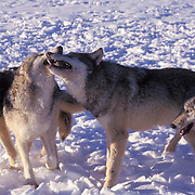 Gray Wolf, (Canis lupus) Greeting each other. Montana.Winter. Captive Animal.