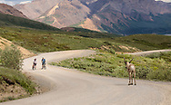 Cyclists face a standoff with a Caribou (Rangifer tarandus) as they approach Highway Pass on the Denali Park Road in Denali National Park in Interior Alaska. Summer. Afternoon. Model released.