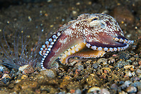 Coconut Octopus moves along the rocky seafloor in search of a meal<br /> <br /> Shot in Indonesia