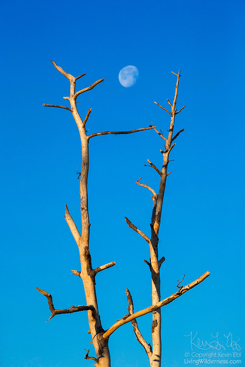 The nearly full moon prepares to set between two bleached snags in the Black Duck Marsh in the Chincoteague National Wildlife Refuge on Assateague Island, Virginia.