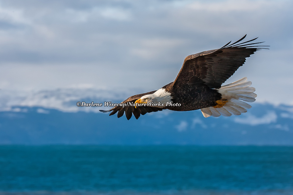 A Bald Eagle in flight over Kachemak Bay with the Kenai Mountains in the background