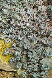Young spring foliage of Sedum 'Bertram Anderson'