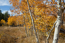 """""""Aspen in Tahoe 1"""" - These yellow aspens were photographed in the fall at the shack near Brockway Summit in Tahoe."""
