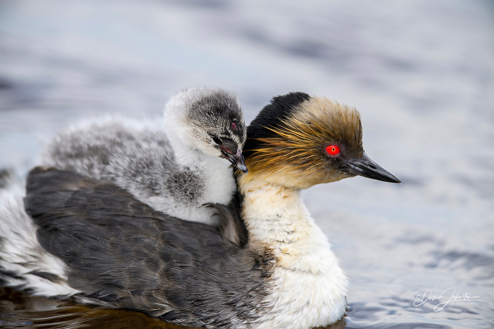 Silvery grebe (Podiceps occipitalis) Young riding the back of an adult, Sea Lion Island, East Falkland, Falkland Islands