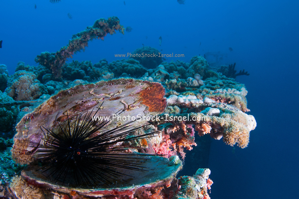 Black Sea urchin (Echinoidea) hides within a clam shell. Photographed the Red Sea, Eilat, Israel