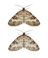 70.199 (1882)<br /> Small Seraphim - Pterapherapteryx sexalata