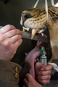 Lioness on airplane for relocation to Malawi (Panthera leo) Anaesthetized and intubated for flight<br /> Pilansberg Game Reserve<br /> North West Province<br /> SOUTH AFRICA