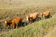Israel, Northern Coastal Plains, Kibbutz Maagan Michael, free roaming cattle grazing in the fields July 2008