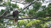 Bald Eagle and Sailboats from Lincoln Park in Gilford, NH.  © Karen Bobotas Photographer
