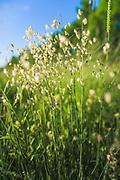 Quaking-grass (Briza media) in sunny summer meadow, Vidzeme, Latvia Ⓒ Davis Ulands   davisulands.com