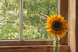 A sunflower in a window brings a bright warmth to a rainy day in Vermont.
