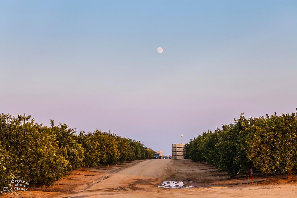 Orange grove located next to Belridge Oil Field. Kern County, San Joaquin Valley, California, USA