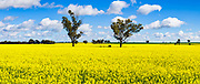 Trees in a field of flowering canola crop under blue sky and cumulus cloud at Fargunyah, New South Wales, Australia. <br />