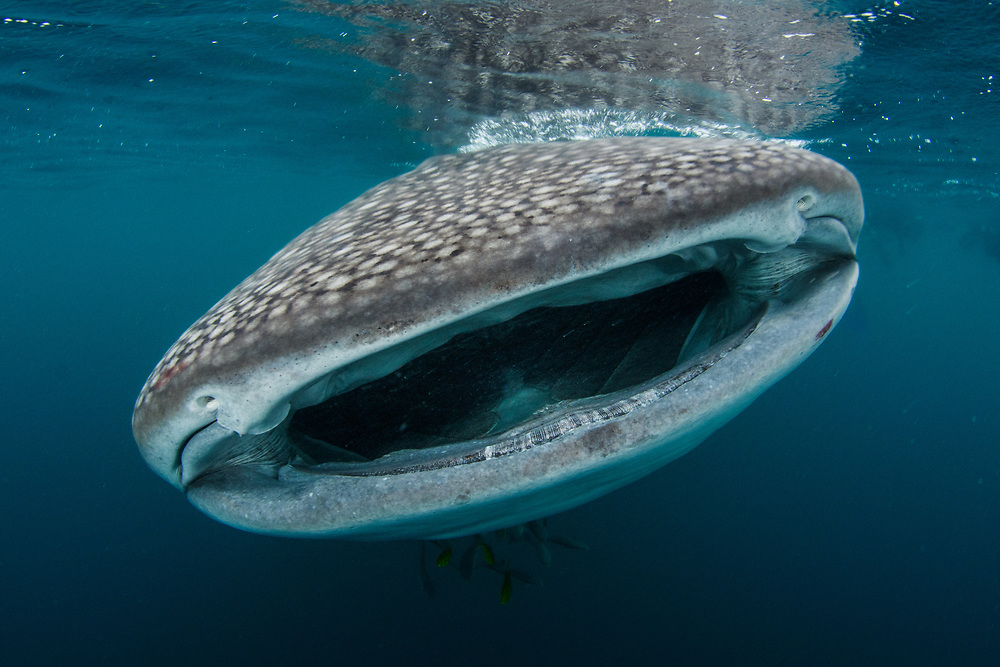 The mouth of a whale shark, Rhincodon typus, in Triton Bay, West Papua, Indonesia
