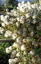 The fluffy seedheads of Clematis orientalis 'Bill Mackensie' in the High Garden at Great Dixter