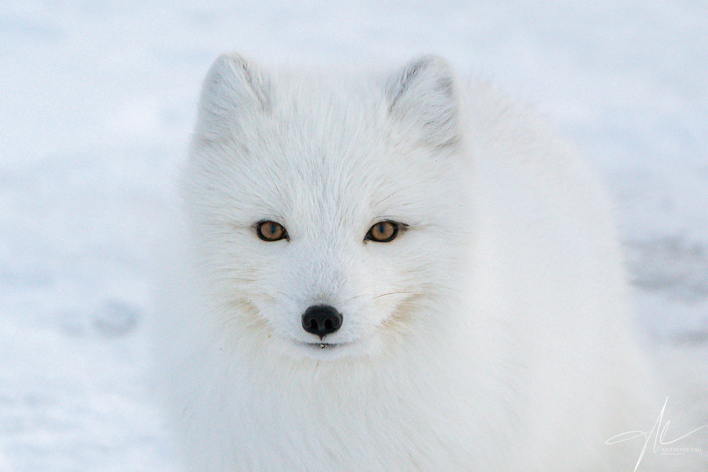 Amazing moment when the Arctic Fox looks into my eyes.