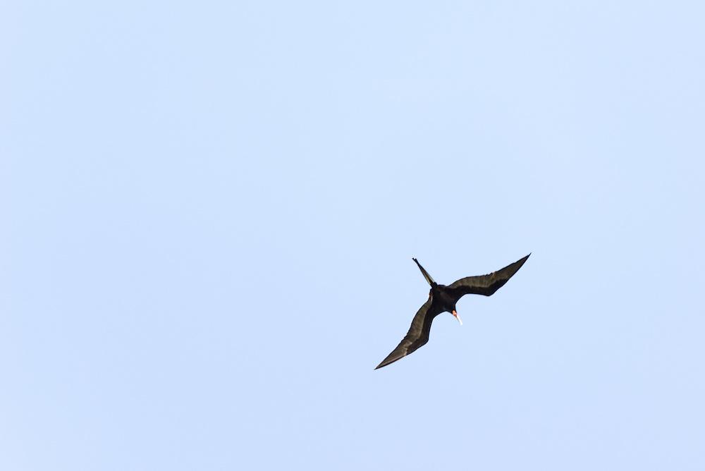 A magnificent frigatebird soars above the Everglades