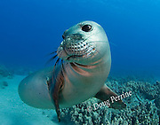 Hawaiian monk seal, Monachus schauinslandi, yearling female ( critically endangered species ), Mahukona, Kohala, Hawaii Island ( the Big Island ) Hawaiian Islands ( Central Pacific Ocean )