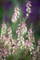 Bee on Linaria 'Peachy'