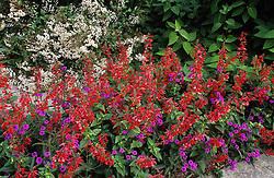 Verbena rigida, Salvia coccinea  'Lady in Red' and Eupatorium ligustrinum in the barn garden at Great Dixter