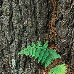 Hampton, NH.A fern grows out of the trunk of a large white pine at the Hurd Farm in Hampton, NH.