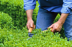 Clipping box hedge with shears