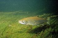 Steelhead Trout, Platte River, Michigan<br /> <br /> ENGBRETSON UNDERWATER PHOTO
