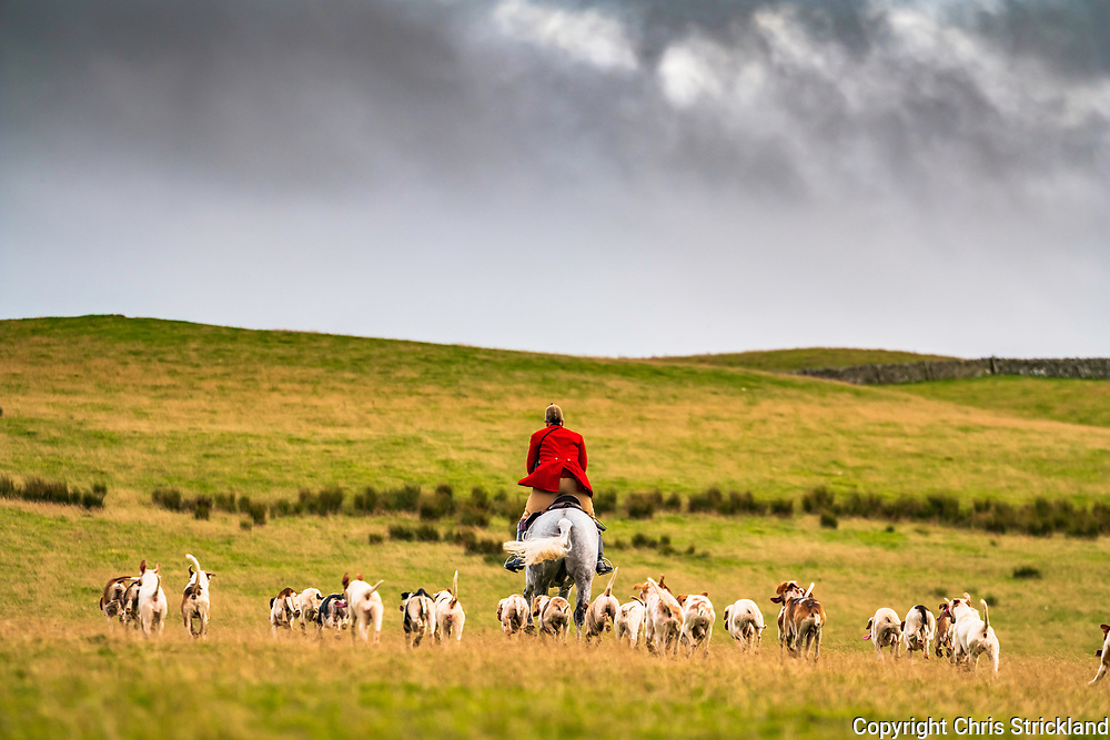 Morebattle, Kelso, Scottish Borders, UK. 26th September 2018. The Duke of Buccleuch foxhounds carry out fox control on a mild autumn evening at Whitton Farm near Kelso.