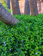 A lush patch of Vinca major (greater periwinkle). While undeniably beautiful, vinca is an invasive specis in the canyon, shutting out native vegetation wherever it takes hold.