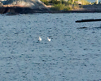 Mute Swan (Cygnus olor). Viewed from the deck of the MV Explorer, Stockholm Archipelago. Stockholm, Sweden. Image taken with a Nikon N1V2 camera and 80-400 mm VR lens.