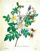 19th-century hand painted Engraving illustration of a Rose candolleana flower, by Pierre-Joseph Redoute. Published in Choix Des Plus Belles Fleurs, Paris (1827). by Redouté, Pierre Joseph, 1759-1840.; Chapuis, Jean Baptiste.; Ernest Panckoucke.; Langois, Dr.; Bessin, R.; Victor, fl. ca. 1820-1850.