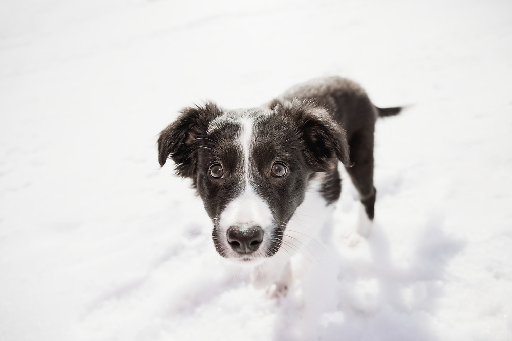 black and white border collie puppy in the snow