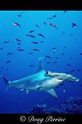 scalloped hammerhead shark, Sphyrna lewini, Critically Endangered Species, Galapagos Marine Reserve, Darwin Island, Galapagos Islands, Ecuador ( Eastern Pacific Ocean )
