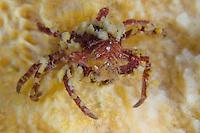 Scorpion spider crab, Inachus dorsettensis.Atlantic marine life, Saltstraumen, Bodö, Norway