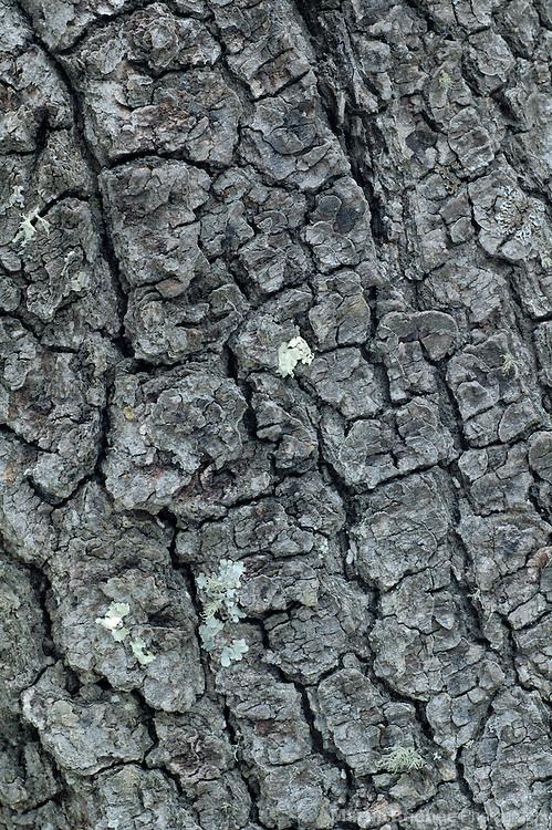 Bark patterns of silverleaf oak (Quercus hypoleucoides), Coronado National Forest, Arizona