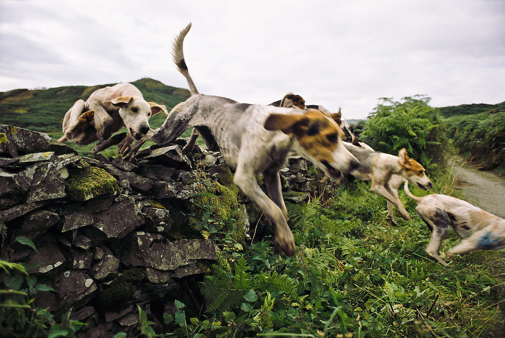 Dogs compete in a hound racing competition in northern England.