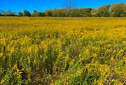Field of Mustard Seed, Wyomissing Park, Berks Co., PA