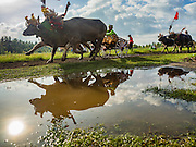 09 OCTOBER 2016 - JEMBRANA, BALI, INDONESIA: A buffalo racing cart (makepung) goes past a puddle on the track during a buffalo race in Tuwed, Jembrana, Bali. Makepung is buffalo racing in the district of Jembrana, on the west end of Bali. The Makepung season starts in July and ends in November. A man sitting in a small cart drives a pair of buffalo bulls around a track cut through rice fields in the district. It's a popular local past time that draws spectators from across western Bali.     PHOTO BY JACK KURTZ