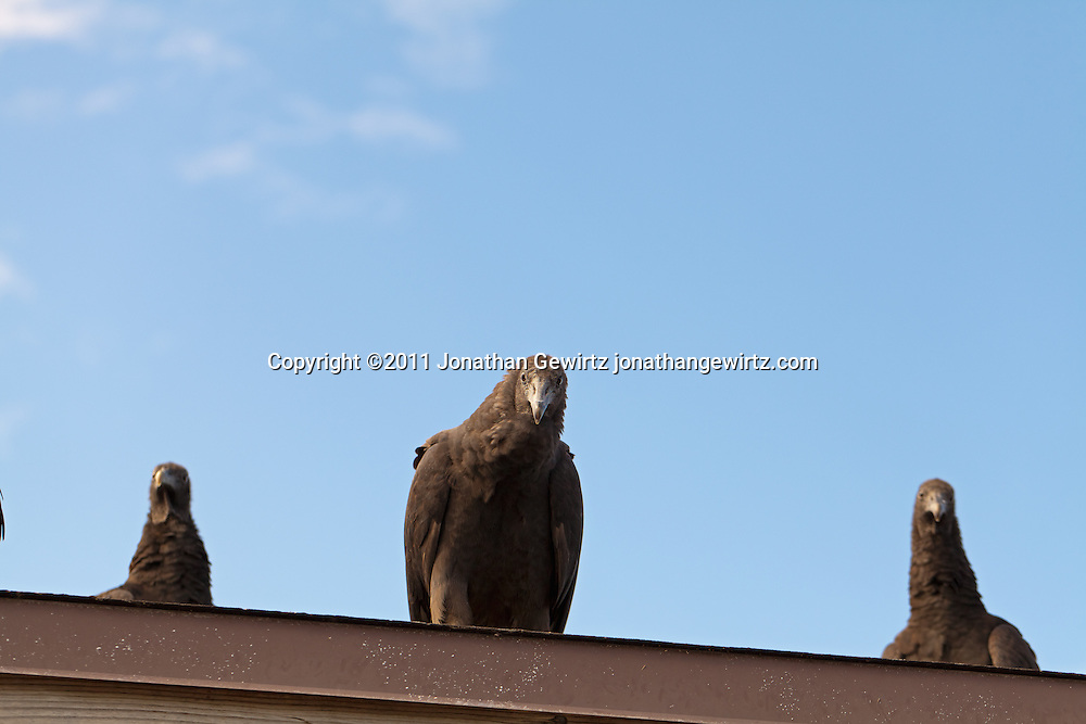 Black vulture (Coragyps atratus) perched on the edge of a roof in Everglades National Park. WATERMARKS WILL NOT APPEAR ON PRINTS OR LICENSED IMAGES.